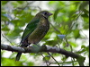 Click here to enter Green Catbird photo gallery