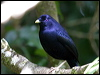 Click here to enter gallery and see photos of: Tooth-billed, Golden, Regent, Satin, Spotted, Great and Fawn-breasted Bowerbirds; Spotted and Green Catbirds