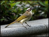 Click here to enter Light-vented Bulbul photo gallery