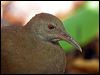 Click here to enter Lord Howe Woodhen photo gallery