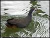 Click here to enter White-breasted Waterhen photo gallery