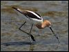 Click here to enter gallery and see photos of: Black-winged, White-headed, Black, Black-necked and Banded Stilt; Pied, American and Red-necked Avocet