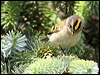 Click here to enter gallery and see photos of: Goldcrest