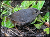 Click here to enter gallery and see photos of: Spillmann's Tapaculo