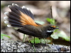 Click here to enter gallery and see photos of: White-throated, Pied, Northern, Mangrove Grey, Grey, Rufous and Arafura Fantails; Willie-Wagtail