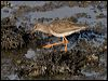 Click here to enter Common Redshank photo gallery