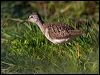 Click here to enter Wood Sandpiper photo gallery