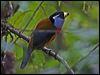 Click here to enter gallery and see photos of: Toucan Barbet