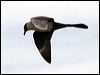 Click here to enter gallery and see photos of: Brown Skua; Pomarine and Parasitic/Arctic Jaeger