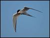 Click here to enter Arctic Tern photo gallery