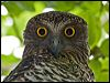 Click here to enter Powerful Owl photo gallery