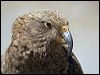 Click here to enter gallery and see photos of: Kea