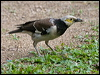 Click here to enter Black-collared Starling photo gallery