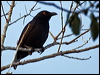 Click here to enter Striated Starling photo gallery