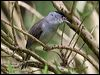 Click here to enter Blackcap  photo gallery
