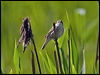 Click here to enter Sedge Warbler photo gallery
