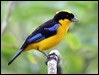 Click here to enter gallery and see photos of: White-lined, Masked Crimson, Silver-beaked, Silver-throated, Blue-grey, Palm, Turquoise, Bay-headed Tanagers; Blue-winged Mountain-Tanager; Purple and Green Honeycreepers; Bicolored Conebill; Slaty and Masked Flowerpiercer; Collared Warbling Finch; Blue-black and Dull-colored Grassquit.