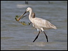 Click here to enter Eurasian Spoonbill photo gallery