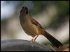 Click here to enter Masked Laughingthrush photo gallery