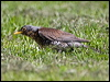 Click here to enter Fieldfare  photo gallery