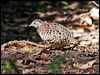 Click here to enter gallery and see photos of: Painted Buttonquail