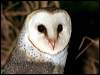 Click here to enter gallery and see photos of: Greater Sooty Owl, Barn Owl