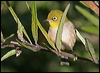 Click here to enter gallery and see photos of: Cape, Everett's, Christmas Island, Slender-billed and Yellow White-eyes; Silvereye.