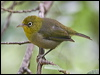 Click here to enter gallery and see photos of: Stripe-throated Yuhina; Cape, Everett's, Christmas Island, Slender-billed, Small Lifou, Green-backed and Yellow/Canary White-eyes; Silvereye.